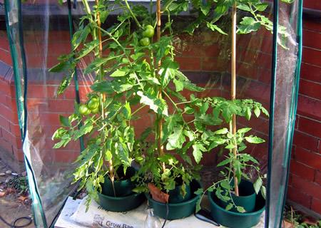 tomatoes2.jpg