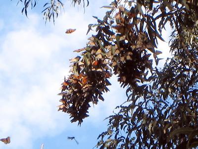Monarchs2.jpg